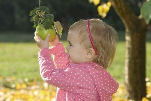Little girl picking an apple from a tree